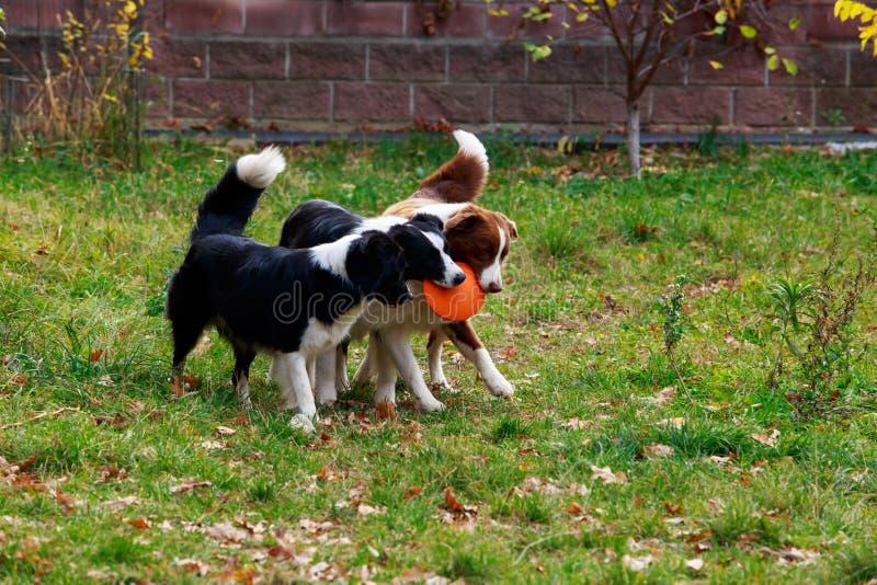 Drie honden Border collie royalty-vrije stock fotografie