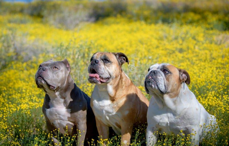 Drie honden die in de super bloei van wildflowers stellen royalty-vrije stock afbeeldingen