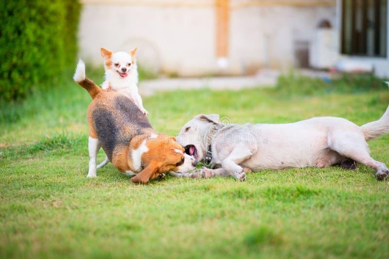 Drie honden die op een groene grasrijke tuin van het landhuis spelen Het kijkt als de hond glimlacht aangezien het de andere hond royalty-vrije stock afbeeldingen