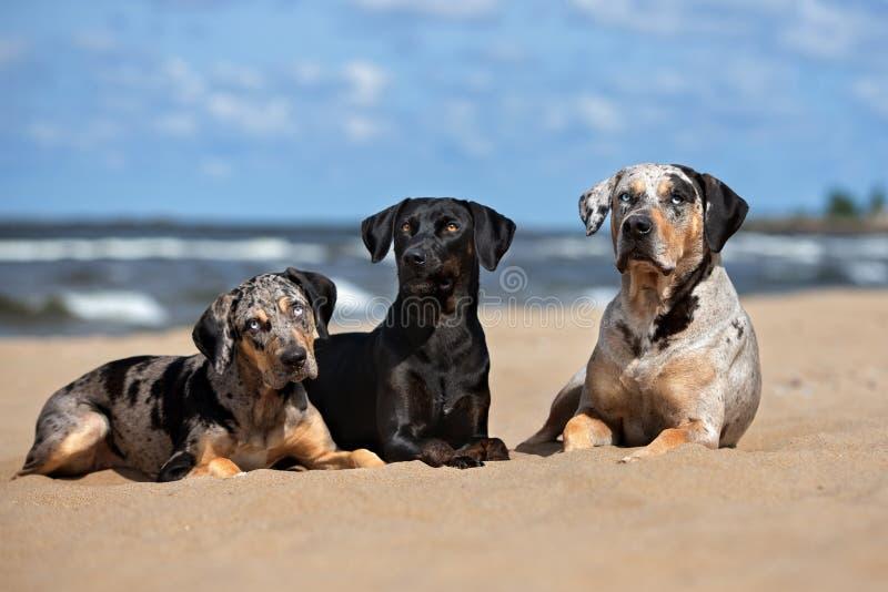 Drie honden die samen op het strand stellen stock foto's