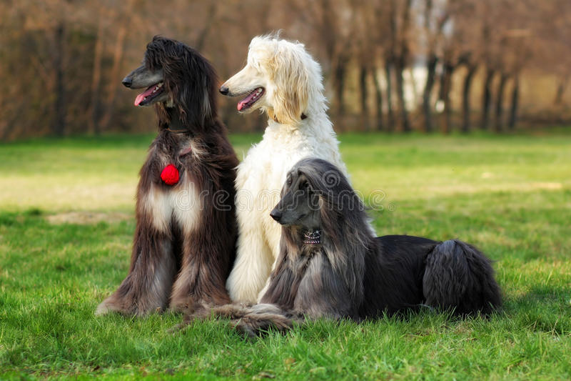 Drie honden kweken Afghaanse Hond royalty-vrije stock afbeelding