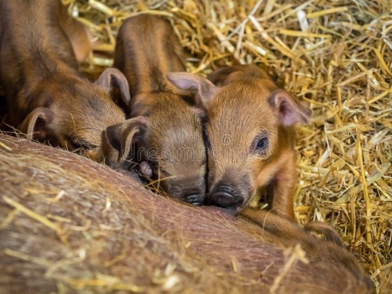 Drie hongerige pasgeboren biggetjes stock fotografie
