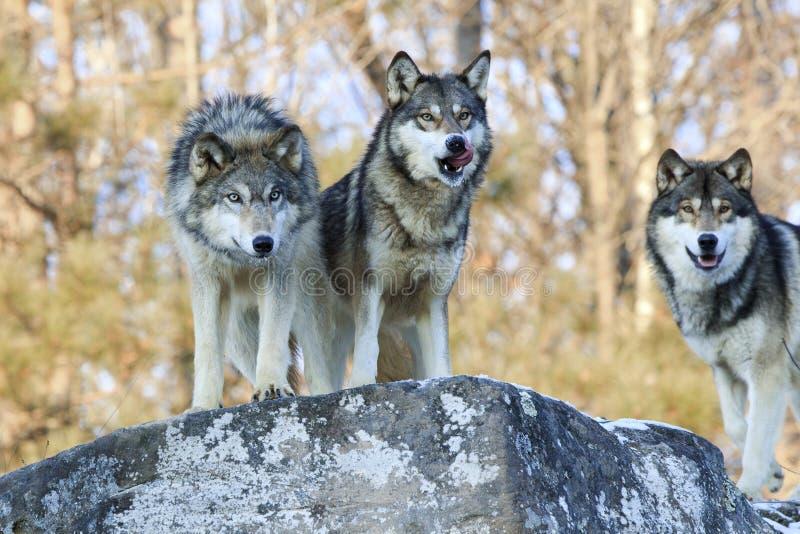 Drie hongerige wolven die voedsel zoeken stock afbeelding