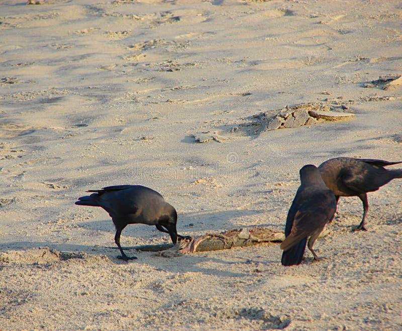 Drie Huiskraaien of Indische Zwarte Kraaien - Corvus die Splendens - iets op Zand onderzoeken stock foto's