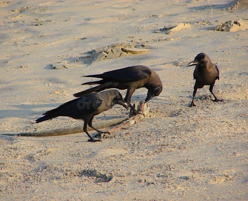 Drie Huiskraaien of Indische Zwarte Kraaien - Corvus die Splendens - iets in Zand onderzoeken stock foto