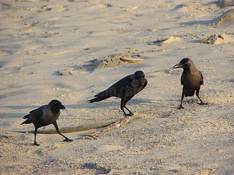 Drie Huiskraaien of Indische Zwarte Kraaien - Corvus die Splendens - zich op Zand bevinden royalty-vrije stock foto