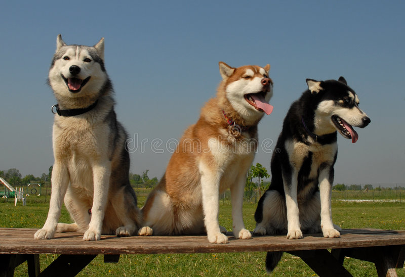Drie huskies royalty-vrije stock afbeeldingen
