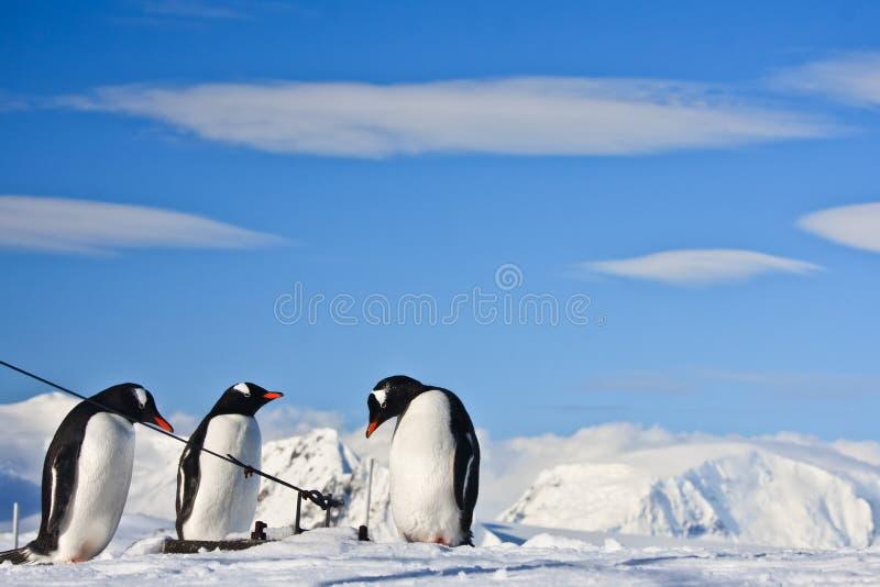 Drie identieke pinguïnen stock afbeeldingen