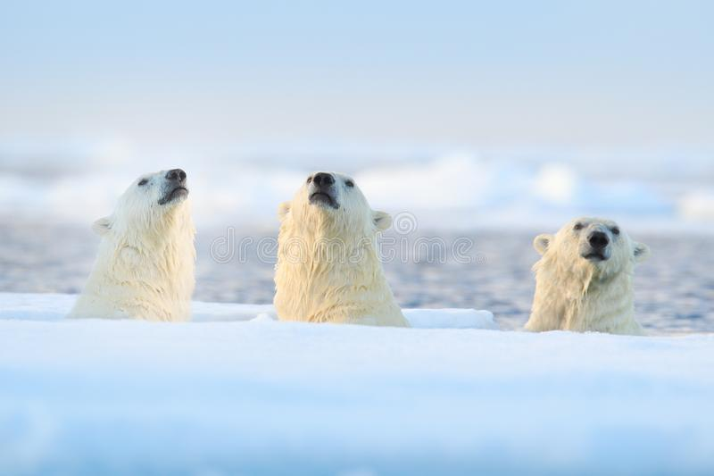 Drie ijsberen op afwijkingsijs, Svalbard, Noorwegen Zeldzame het wildscène van aard, de koude winter met sneeuw in het Noordpoolg stock afbeelding