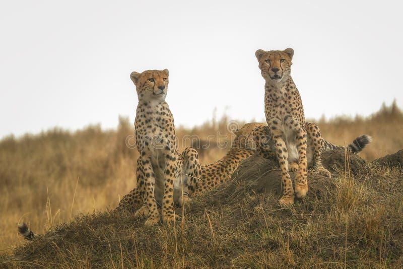 Drie jachtluipaardbroers royalty-vrije stock fotografie
