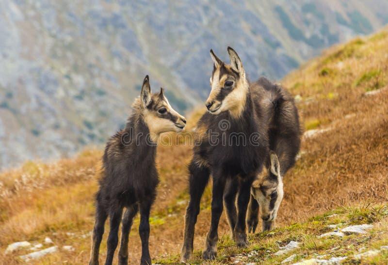 Drie jonge gemzen op een grasrijke helling in de herfst in Tatras stock fotografie