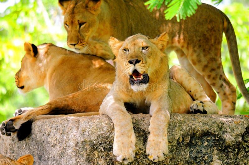 Drie jonge leeuwen stock foto's