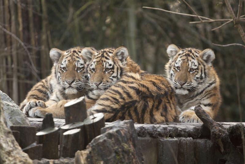 Drie jonge tijgers royalty-vrije stock foto