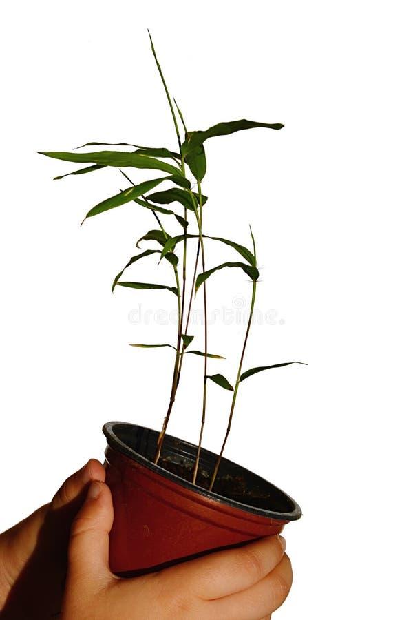 Drie jonge zaailingen van Moso-bamboe planten Phyllostachys edulis in kleine plastic die bloempot, in handen van meisje wordt geh stock foto's