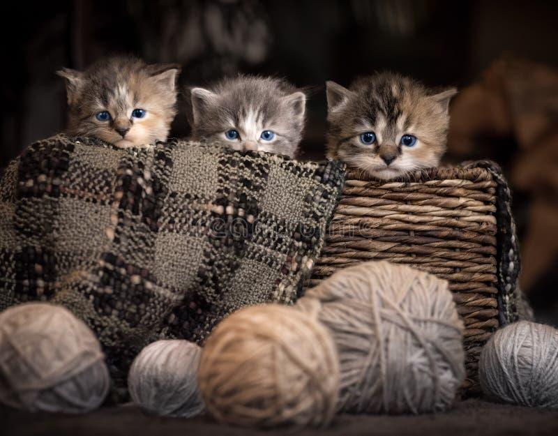 Drie katjes in een mand stock afbeeldingen