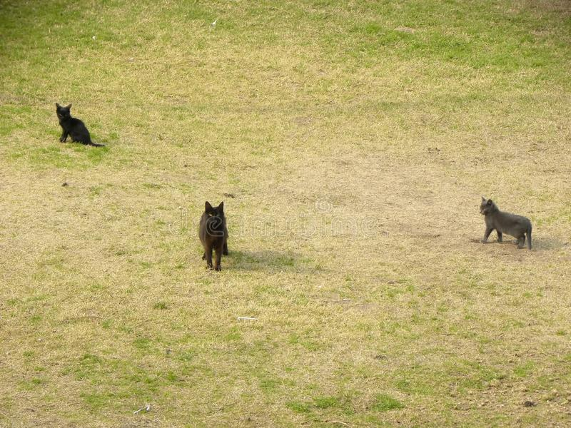 Drie katten die op het gras lopen stock fotografie