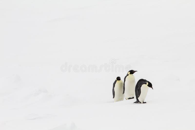 Drie keizerpinguïnen het lopen stock fotografie