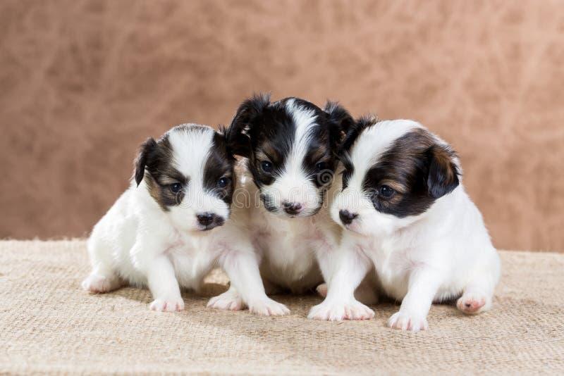 Drie klein puppy Papillon royalty-vrije stock afbeeldingen