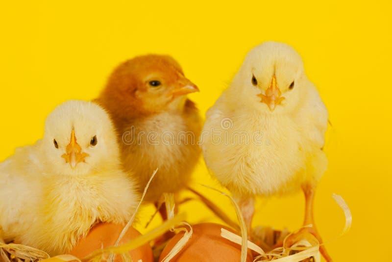 Drie kleine babykip met eieren stock foto
