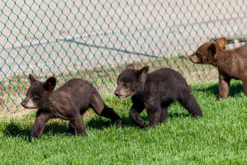 Drie Kleine Beren door een Omheining stock foto's