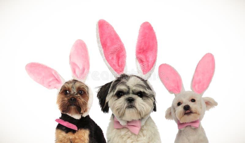 Drie kleine grappige honden die Pasen-konijntjesoren dragen royalty-vrije stock foto