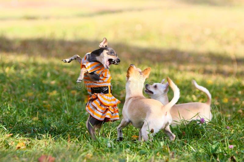 Drie kleine honden lopen in het park op het gazon Een mooi wijfje is gekleed in een kleding en bevindt zich op haar achterste ben stock foto's
