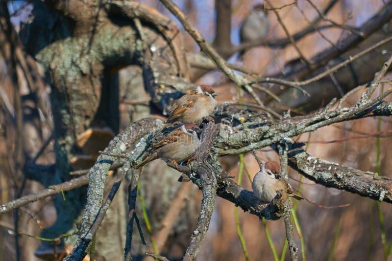 Drie kleine mussen die op een tak in de winter rusten stock afbeeldingen