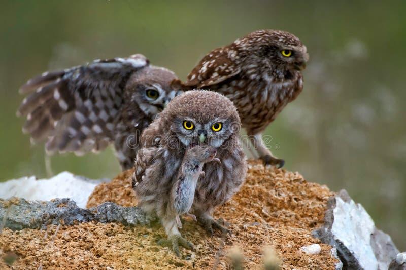 Drie kleine uilentribune op de rots Één uilholding in zijn bek een muis royalty-vrije stock foto