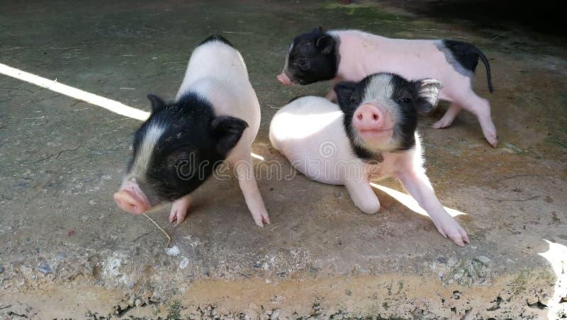 Drie kleine varkens in het landbouwbedrijf royalty-vrije stock foto