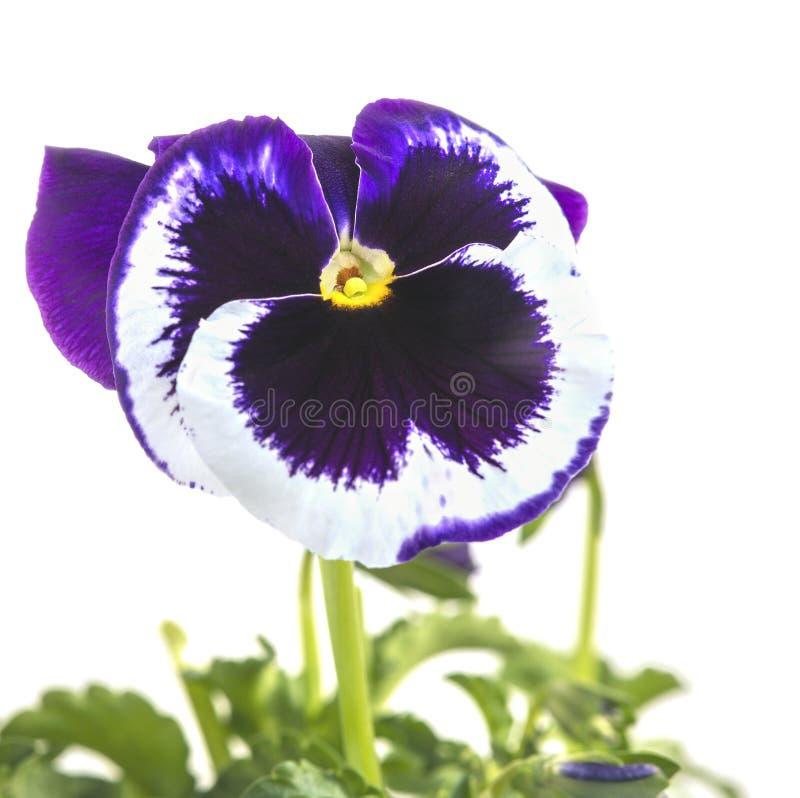Drie-kleur viooltje, of pannen van een glans op een witte achtergrond royalty-vrije stock foto