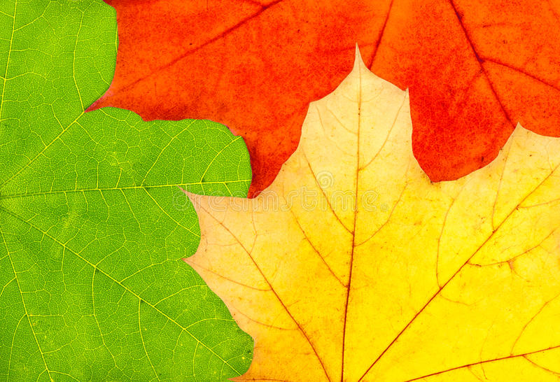 Drie kleurrijke bladeren van de de herfstesdoorn stock afbeelding