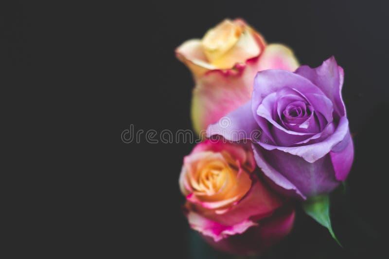 Drie kleurrijke rozen tegen zwarte achtergrond, met exemplaarruimte stock foto's