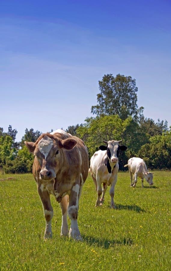 Drie koeien stock afbeeldingen