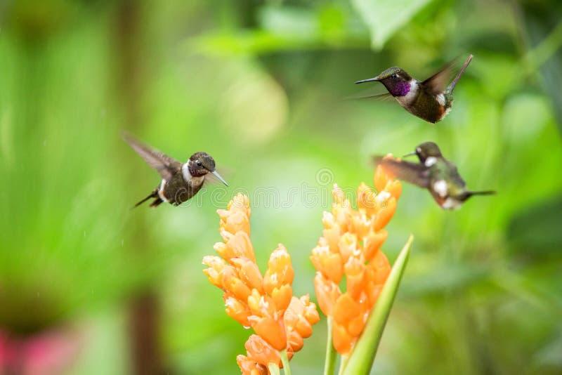Drie kolibries die naast oranje bloem, tropisch bos die, Ecuador, drie vogels hangen nectar van bloesem zuigen stock fotografie