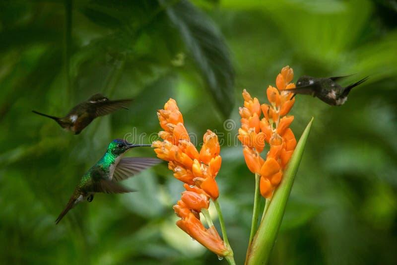 Drie kolibries die naast oranje bloem, tropisch bos die, Ecuador, drie vogels hangen nectar zuigen royalty-vrije stock afbeelding