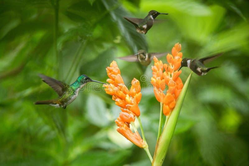 Drie kolibries die naast oranje bloem, tropisch bos die, Ecuador, drie vogels hangen nectar zuigen royalty-vrije stock fotografie