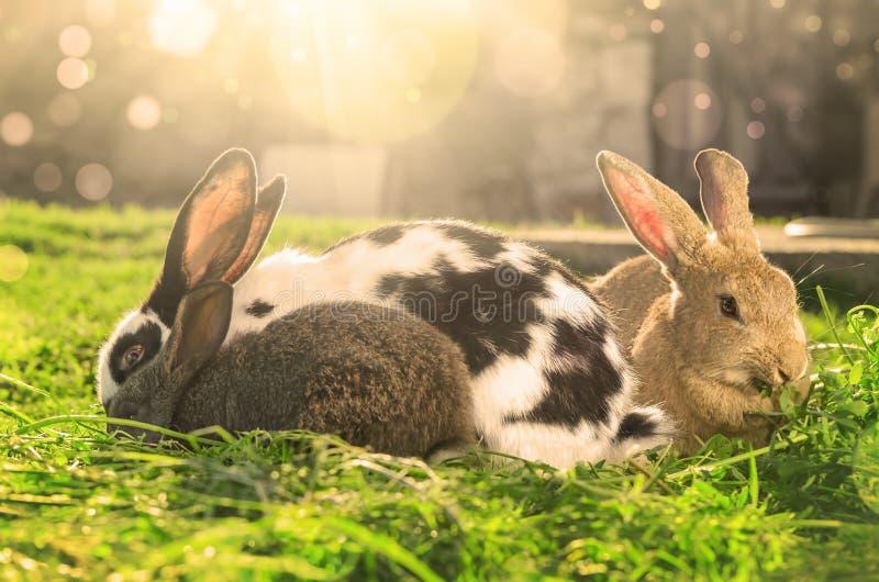 Drie konijnen die groen gras op Zonlicht eten - samenvatting royalty-vrije stock afbeelding