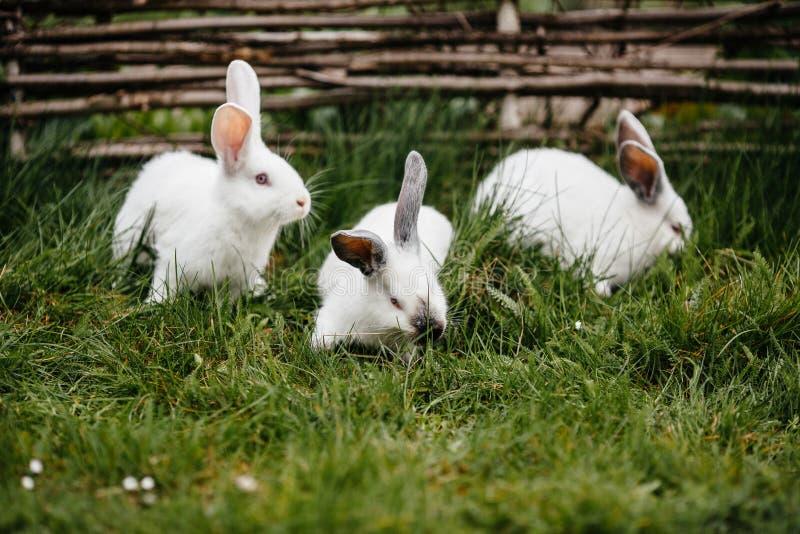 Drie konijnen in groen gras stock afbeeldingen
