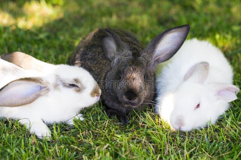 Drie konijnen in groen gras op het landbouwbedrijf stock afbeeldingen