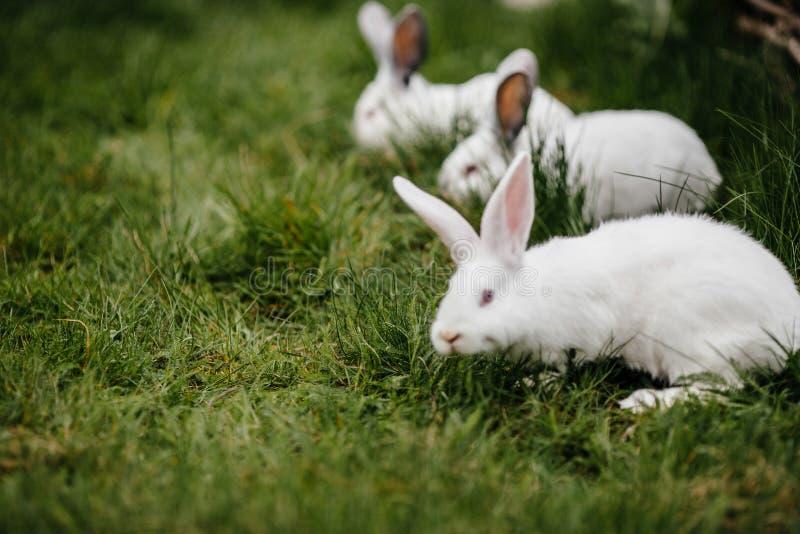 Drie konijnen in groen gras op het landbouwbedrijf Zachte nadruk royalty-vrije stock foto's