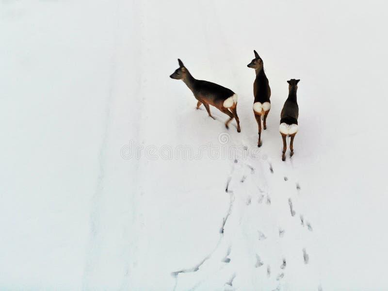 Drie kuitendeers in sneeuwweide in de winter stock fotografie