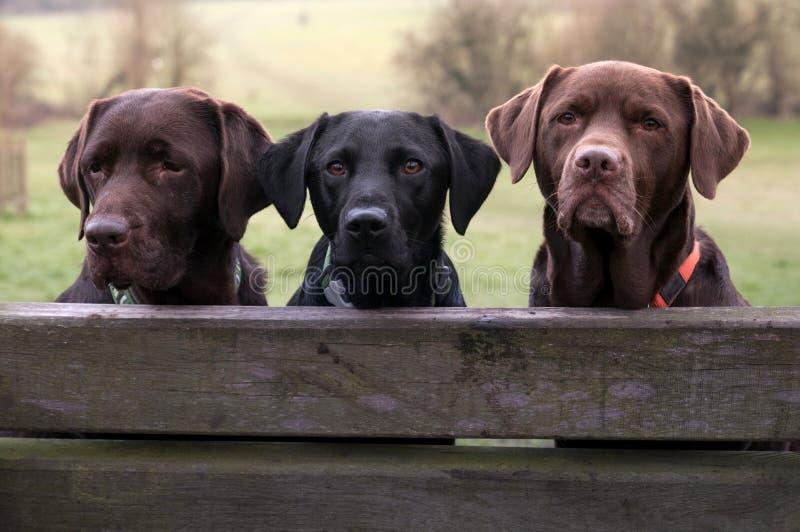 Drie labradors royalty-vrije stock fotografie