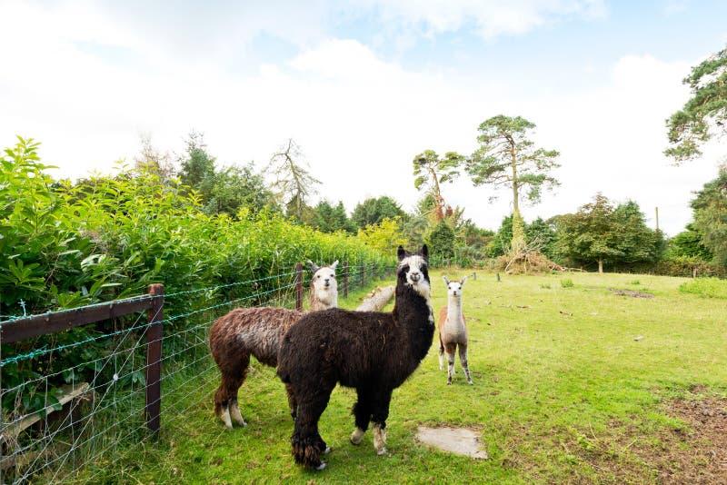 Drie lama's op een groen gebied royalty-vrije stock afbeelding