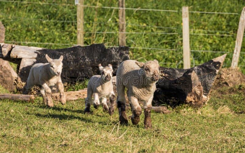 Drie Lammeren van Nieuw Zeeland stock fotografie