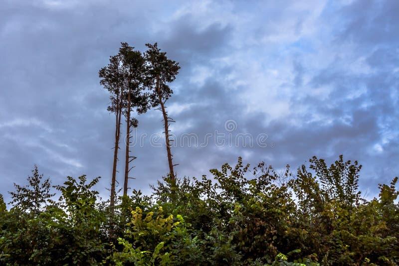 Drie lange pijnbomen tegen de hemel Knippend inbegrepen weg stock foto's
