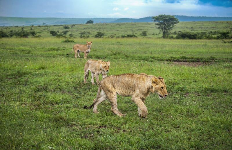 Drie leeuwen die door de vlaktes van Masaai Mara besluipen stock afbeelding