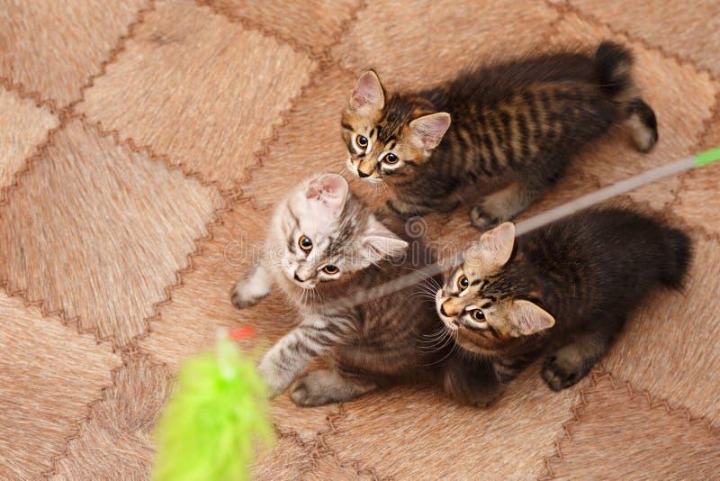 Drie leuk klein bobtailkatje stock afbeelding