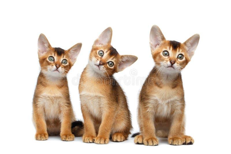 Drie Leuke Abyssinian Kitten Sitting op Geïsoleerde Witte Achtergrond royalty-vrije stock foto's