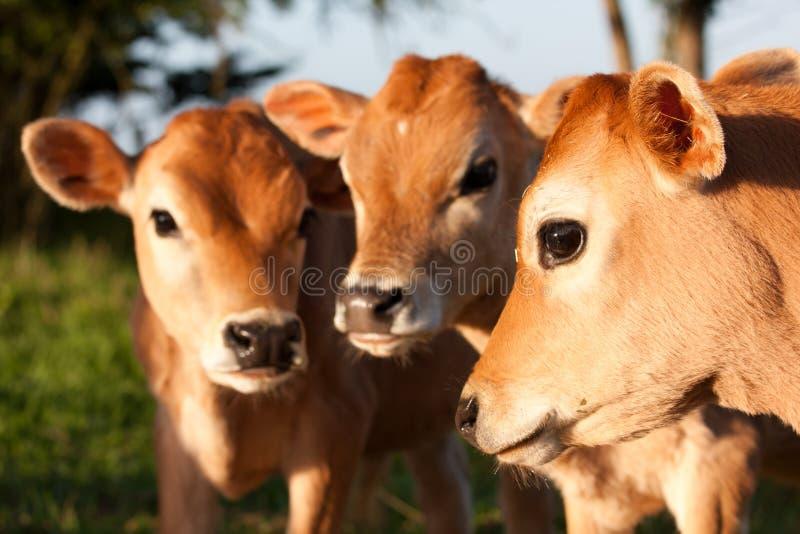 Drie leuke kalveren van de landbouwbedrijfkoe status