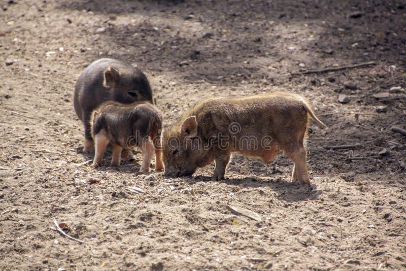 Drie leuke kleine varkens in het boerenerf royalty-vrije stock afbeelding